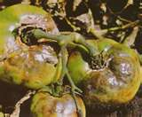 Symptoms of Late Blight on tomato fruit.