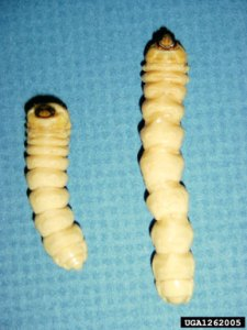 ALB larvae - photo Michael Bohne