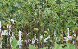 Fungus damaged tomatoes...slim pickin's.