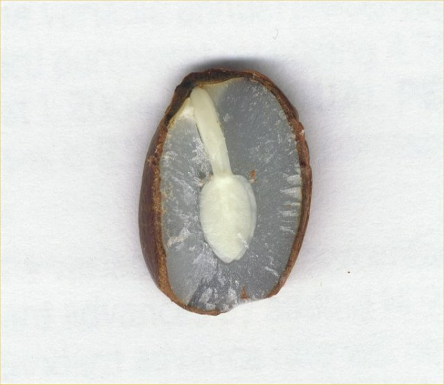 a persimmon seed