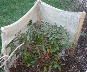 Windbreaks are very effective in protecting evergreens and other plants from dehydrating.