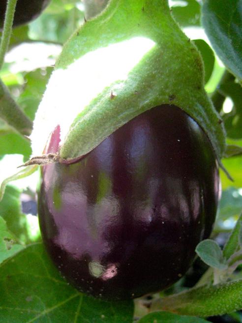 burpee hybrid eggplant