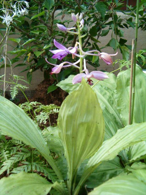 Calanthe_sylvatica_Calanthe_masuka_OrchidsBln0906b